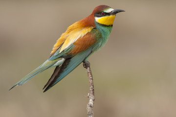 Common bee-eater ( Merops Apiaster ) perched on a branch. Spain