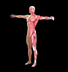 Human anatomy with visible  muscles