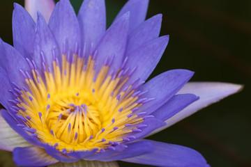 青色の睡蓮