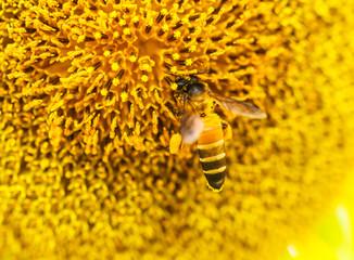 Bee on Sunflower in Lopburi, Thailand