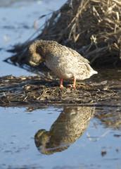 Female duck in wetlands.
