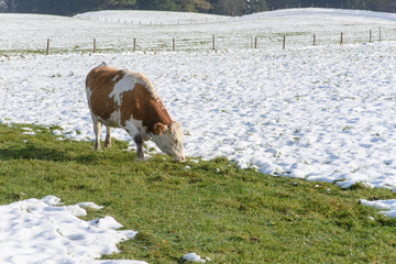 Cows in Winter Farm Field