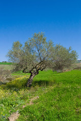 Olive tree in a rural