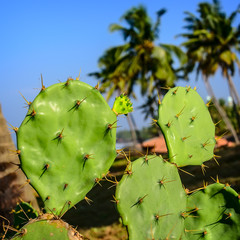 Prickly pear cactus of blue sky
