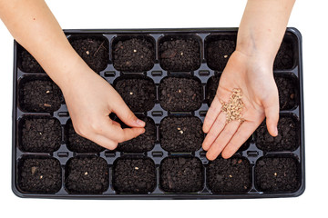 Young hands sowing vegetable seeds in germination tray