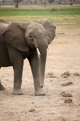 Eléphanteau au Kenya