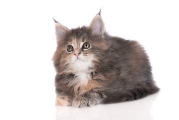 small adorable maine coon kitten