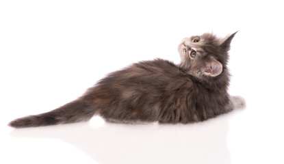 little maine coon kitten lying down on white