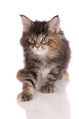 maine coon kitten on white