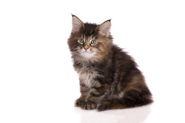 adorable tabby kitten on white