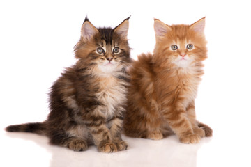 two adorable maine coon kittens