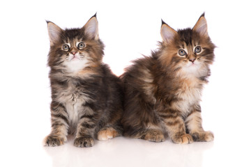 two adorable maine coon kittens on white
