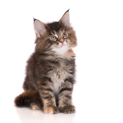 adorable tabby maine coon kitten on white