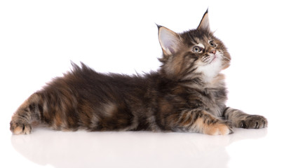 adorable tabby maine coon kitten lying down on white