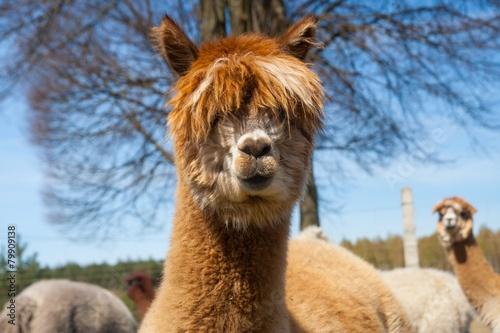 Fotobehang Lama Alpaca (Vicugna pacos)