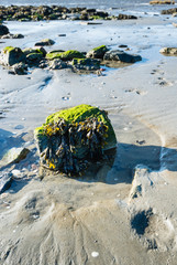 Boulder covered with moss and bladderwrack