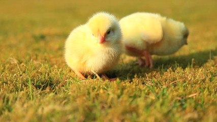 Cute little chicks on meadow