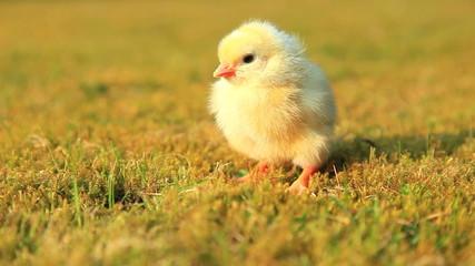 Cute little chick on green meadow