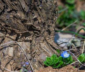 petites fleurs au pied du cep