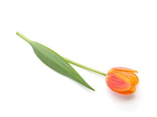 Lying orange tulip