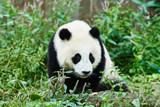 Panda bears cubs playing Sichuan China