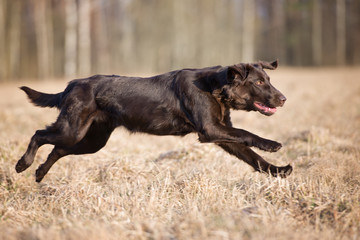 flat coated retriever dog running outdoors
