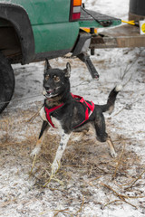 Excited Sled Dog Bounces Prior to Race