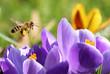 Biene sammelt Pollen für Honig - 79918571