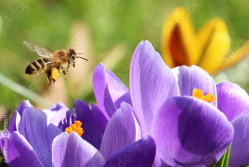 Biene sammelt Pollen für Honig
