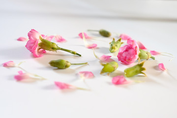 Carnation flower petals