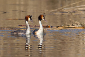 Great crested grebe (Podiceps cristatus) - Couple