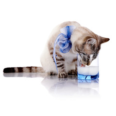 The striped cat with a blue bow drinks milk from a glass.