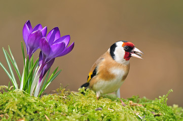 Goldfinch standing next to crocus