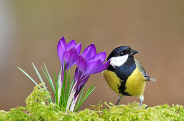 Great tit standing next to crocus
