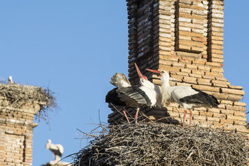 Storks in San Miguel Collegiate Church, Alfaro (Spain)