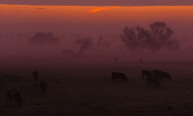 krowy na łące o wschodzie
