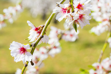 Closeup of a blossoming almond tree in full bloom