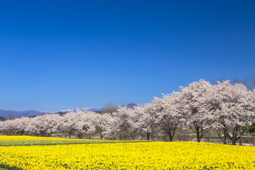 水仙と桜並木2