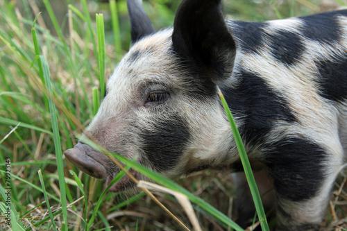 Leinwanddruck Bild The Bunte Benheimer – one of the oldest house-pig races