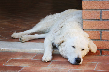 maremma sheepdog sleeping on a terracotta floor