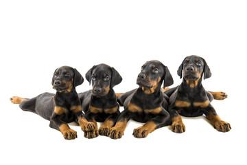 Puppies doberman pinscher