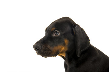 Puppy of doberman pinscher
