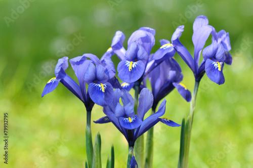 Foto op Canvas Iris iris bleu sur fond vert