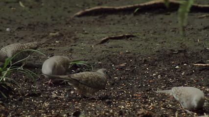 Mourning Doves Feeding