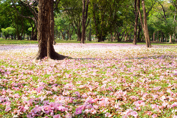 Flower of pink trumpet tree falling on ground