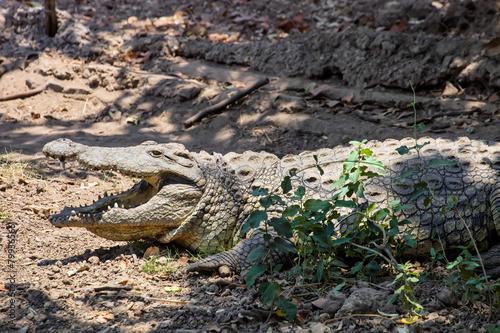 Foto op Aluminium Krokodil Nile crocodile, Crocodylus niloticus, Zimbabwe