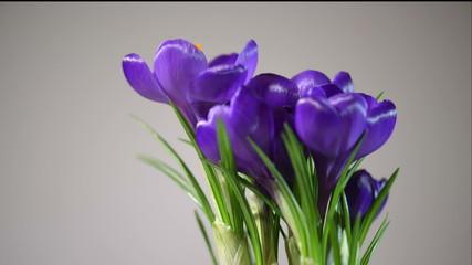 Crocus flowers blooming in timelapse
