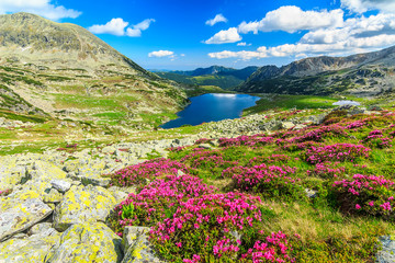 Magical rhododendron flowers and Bucura lakes,Retezat,Romania