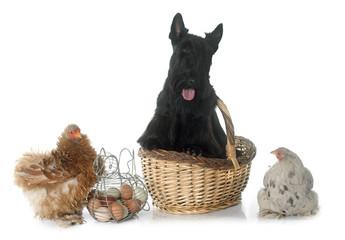 scottish terrier and chicken