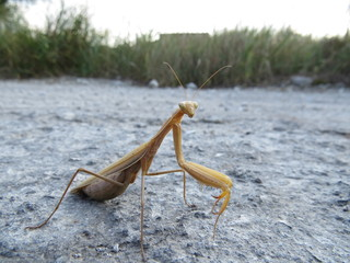 Yellow mantis standing on the asphalt road.